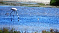 Flamencos en las Salinas de Cabo de Gata - Almería Bird, Animals, Flamingos, Gatos, Home, Animales, Animaux, Animais, Birds