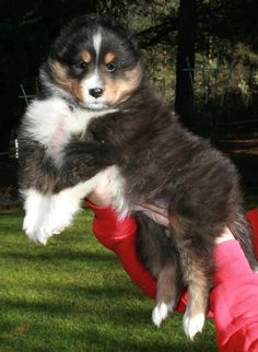 I want my next sheltie to look like this !!
