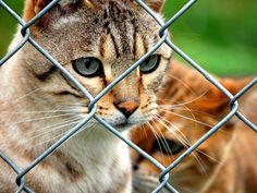 wild cats bred with domestic cats