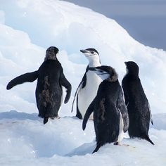 chinstraps at cierva - help scientists with mapping penguin colonies...maybe you'll find a new one.