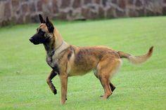 El pastor belga malinois es una de las cuatro variedades de la raza canina de pastor belga. Su nombre proviene de la ciudad belga de Malinas