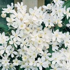 Clematis Armandii climbs on north facing walls, is evergreen and flowers