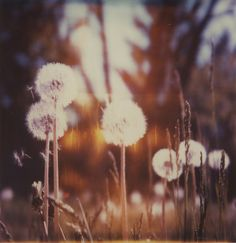"""I like to call them Puffy-Puffs. My motto is """"Grab a puffy-puff, blow with all your might, watch the specks fly away, close your eyes, make a wish, and then go wait for it to come true."""""""
