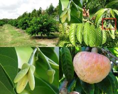 Small Business Ideas | List Of Small Business Ideas: Custard Apple Farming | Growing Custard Apple to Earn Money