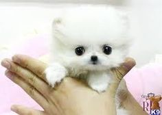 i could just kiss his little face off!!! teacup pomeranian <3 .