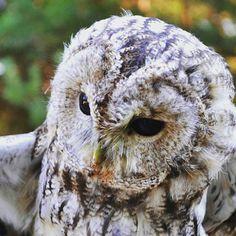 Spojrzenie sowy #sowa #puszczyk #tawny #owl #spojrzenie #eyes #look #polesie