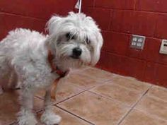 Animal ID:A4748365  More Sharing ServicesShare on facebookShare on twitterShare on mailto  I don't have a name yet and I'm an approximately 1 year old male maltese.I am not yet neutered.I have been at the Downey Animal Care Center since August 22, 2014.I will be available on August 27, 2014.You can visit me at my temporary home at D625.