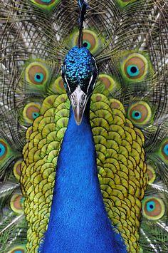 Peacock by Mundy Hackett