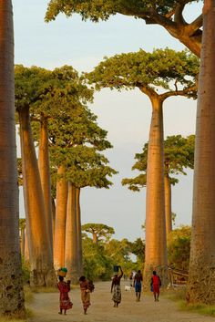 Baobab Trees, Madagascar | 15 Beautiful Places That You Shouldn't Miss If You Travel To Africa