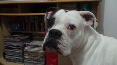 [Cão] Boxer Alemão Branco [Dog] SP Photo by Carlos Campos #002