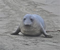 Female Northern Elephant Seals