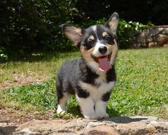 Corgi Puppy - DH wants to get the tri-color!!
