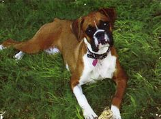 boxer pups | Boxer Dog Breed Pictures - Photo of Daisey the Boxer