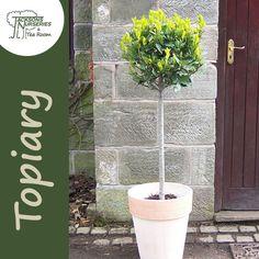 Buy Laurus nobilis Lollipop (Bay Laurel) online from Jacksons Nurseries Laurus Nobilis, Topiary, Nurseries, About Uk, Balcony, Outdoor Structures, Plants, Babies Rooms, Child Room