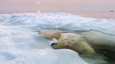Un oso polar mira desde debajo del agua y el hielo que se derrite mientras el sol de medianoche bril... - Externa