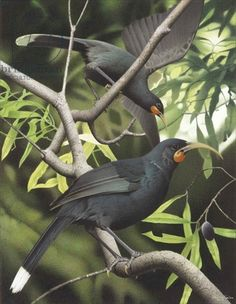 Huia, illustration from the series 'Extinct Birds of New Zealand' (colour litho) Extinct Birds, Extinct Animals, Prehistoric Animals, Love Birds, Beautiful Birds, Birds Online, New Zealand Landscape, New Zealand Art, Nz Art