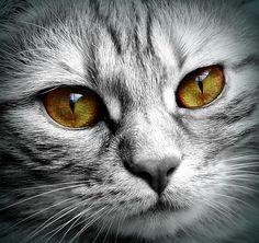 Kočka, Tvář, Tygr, Zavřít, Oči