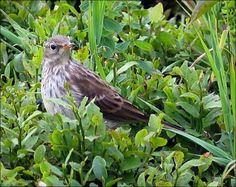 Water pipit - Wikipedia, the free encyclopedia Birds, Animals, Portugal, Little Birds, Animales, Animaux, Bird, Animal, Animais