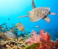 beautiful sea-turtle-swimming-near-a-coral-reef, fell in love with these in Darwin!