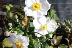 Anemone hybrida Honorine Jobert