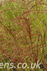 Miscanthus Red Meister1662