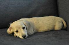 golden dachsund puppy AHH
