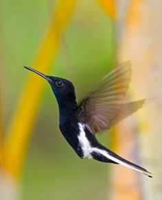 The Black Jacobin, is a species of hummingbird in the Trochilidae family