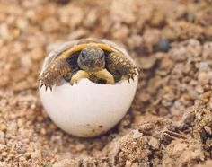Somos tortugueros: Tortuga Terrestre Argentina
