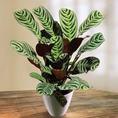 Ctenanthe burle marxii - 1 plant Buy online order yours now Potted Plants, Cactus Plants, Garden Plants, Indoor Plants, Calathea Plant, Decoration Plante, Plants Are Friends, Office Plants, Interior Plants