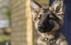 German Shepherd Dog, puppy, 4k, portrait, cute animals, dogs