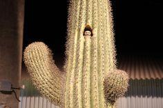 Cactus Owl | Flickr - Photo Sharing!