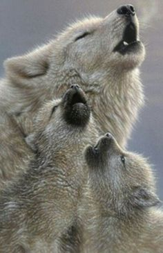 Learning to howling, little wolves. Soooo cute!!