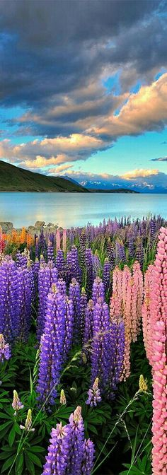 Lake Tekapo in New Zealand is fed by glacier runoff, which helps transport silts that give the lake its special color and enable the shore to grow its unique lupines. Click through to see 20 Incredible Landscapes You Can Only Find In New Zealand! Visit New Zealand, New Zealand Travel, Cool Places To Visit, Places To Go, Beautiful World, Beautiful Places, Simply Beautiful, Beautiful Pictures, Landscape Photography