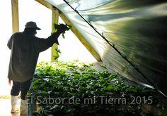 Chaya • Zona Vavilov Mesoamérica, El Sabor De Mi Tierra