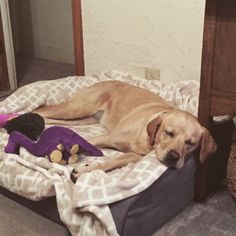 k9_ballisticsThank you Dianne for the picture. It took Lily a little bit to get used to it, but now she loves the bed. #k9ballistics #dogsofinstagram #dogbeds #dogs #labrador