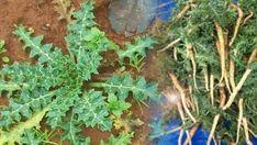 Şevketi Bostan – Akkız Otu Natural Remedies, Herbalism, Diy And Crafts, Herbs, Healthy, Nature, Food, Health, Prepping