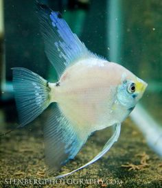 smokey angelfish | Philippine Blue Angelfish