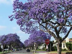#Jacaranda trees, which are native to South America, are a very popular tree in LA that peak every May. Here are some in #Culver City