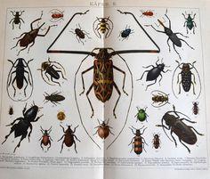 Aus einen Lexikon um das Jahr 1900 stammt diese detailreiche wunderbar farbige Erklär-Bildtafel über Käferarten.     Es sind sehr schöne Illustratione