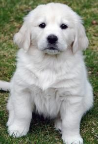 Colbie the Golden Retriever - HOW COME YOU'RE WHITE INSTEAD OF GOLDEN?  MINE WAS ALMOST WHITE AS A PUPPY BUT TURNED YELLOW.