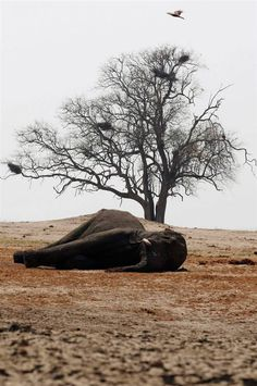 Slaughter of the giants                 Birds hover over the carcass of an elephant killed after drinking from a poisoned water hole in Zimb...