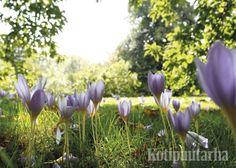 Loistomyrkkylilja ( Colchicum speciosum) www.kotipuutarha.fi
