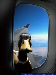 """Hey, buddy...can I hitch a ride? """"We are at 30,000 feet...What the heck...there is a duck at the window!"""""""