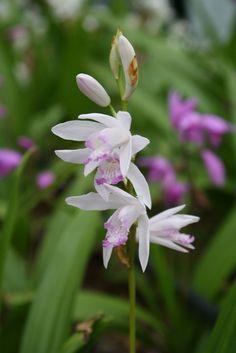 Bletilla striata 'Kuchibeni' (Purple Lip Hardy Ground Orchid)