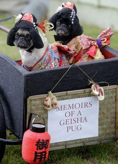Memoirs of a geisha pug!