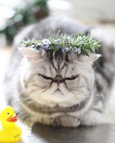 MR Cat Miluroco