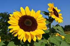 Free Image on Pixabay - Sunflower, Sunflower Field, Yellow Sunflower Images, Sunflower Art, Sunflower Fields, Feng Shui, Free Pictures, Free Images, Mammoth Sunflower, Free Jigsaw Puzzles, Happy Flowers