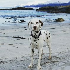 Beautiful picture ... made better with a spotty dog! Credit to @dalmatiansansa by dalmatians_of_instagram #lacyandpaws