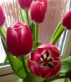 Tulips.x