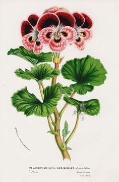 Pelargonium Miellez from Floral Prints of Roses, Violet, Peach, Passion Flower from Van Houtte 1845